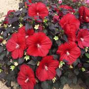 Hibiscus Summerific® Holy Grail