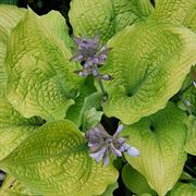 Hosta Shadowland® 'Coast to Coast'