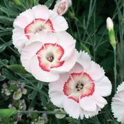 Dianthus Whetman® American Pie Georgia Peach Pie