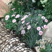Dianthus American Pie Georgia Peach Pie