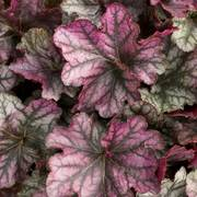 Heuchera Dolce® Blackberry Ice