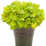 Heuchera Key Lime Pie