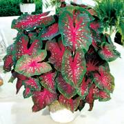 Caladium Red Flash Bulbs