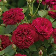 Rosa Darcey Bussell™