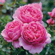 garden rose bushes rose shrubs tree roses at. Black Bedroom Furniture Sets. Home Design Ideas