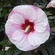 Hibiscus Summerific® Perfect Storm