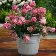 Hydrangea Fire Light®
