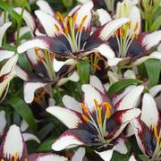 Netty's Pride Asiatic Lily - pack of 3