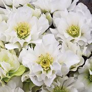 Helleborus Wedding Party Wedding Bells