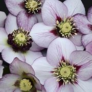 Helleborus Honeymoon French Kiss