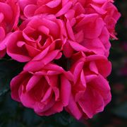 Flamingo Kolorscape® Floribunda Rose