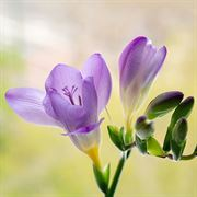 Freesia Blue Bayou