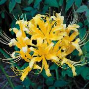 Lycoris aurea (Yellow Spider Lily)