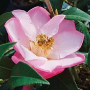 Camellia 'Taylor's Perfection' Thumb