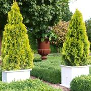 Thuja Highlights