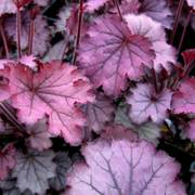 Heuchera Little Cuties™ Sugar Berry