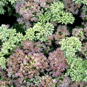 Sedum Autumn Delight™