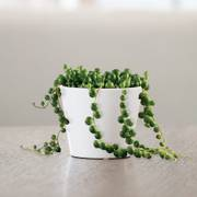 String of Pearls Succulent Plant Thumb