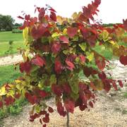Cercis Flame Thrower® Thumb