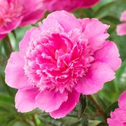 Paeonia 'Bouquet Perfect' Thumb