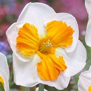Narcissus 'Tricollet' Thumb