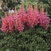 Astilbe 'Rise and Shine' Thumb