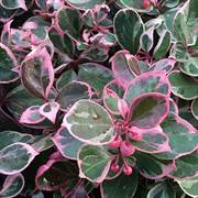Gaultheria Winter Splash™