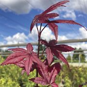 Acer 'Emperor One' Thumb