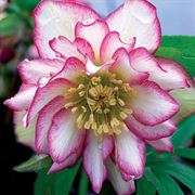 Hellebore Winter Jewels Rose Quartz