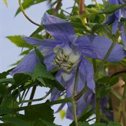 Clematis Blue Bird