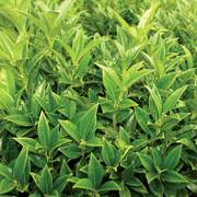 Sarcococca Fragrant Valley™