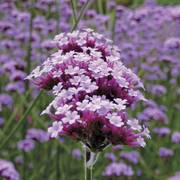 Lollipop Verbena