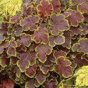 Heuchera Solar Eclipse