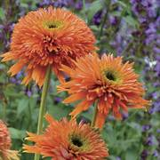 Colorburst™ Orange Coneflower