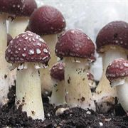 Garden Giant Soil Therapy Composting Mushrooms