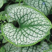 Sea Heart Brunnera