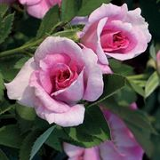 Jane Seymour Floribunda Rose