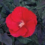 Midnight Marvel Hibiscus Shrub
