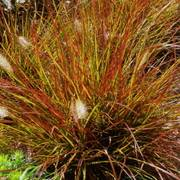 Burgundy Bunny Fountain Grass