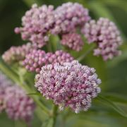 Asclepias Cinderella - Pack of 3 Plants