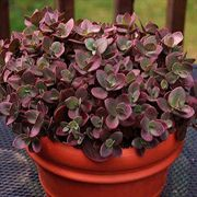 SunSparkler™ Cherry Tart Stonecrop
