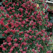 Blaze Improved Climbing Rose