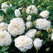 Pure Perfume™ Shrub Rose
