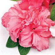 Bloom-a-Thon® Double Pink Azalea