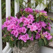 Rhododendron Bloom-a-Thon® Lavender