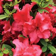 Rhododendron Bloom-a-Thon® Red