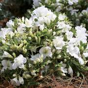 Rhododendron Bloom-a-Thon® White