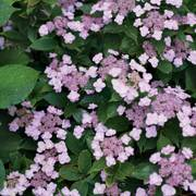 Tiny Tuff Stuff™ Mountain Hydrangea