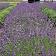 Phenomenal Lavender - Pack of 6