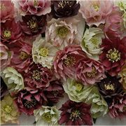 Mardi Gras Double Mix Helleborus